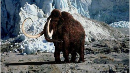 Cercetatorii vor sa readuca la viata mamutul lanos disparut acum 4.000 de ani