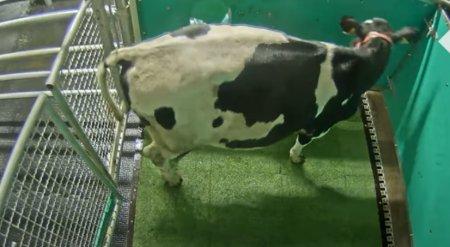 Cercetatorii germani au dresat vacile sa mearga la toaleta pentru a reduce emisiile de gaze cu efect de sera