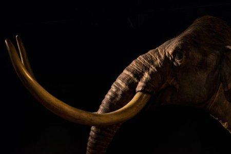 Pariul geneticienilor: 15 milioane de dolari pentru reinvierea mamutului lanos