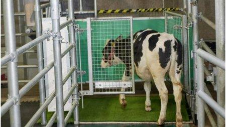 Vaci antrenate sa foloseasca toaleta, pentru reducerea emisiilor de gaze cu efect de sera