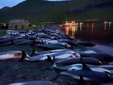 Aproape 1.500 de delfini, ucisi in Insulele Feroe cu ocazia unei traditii ce dateaza de sute de ani