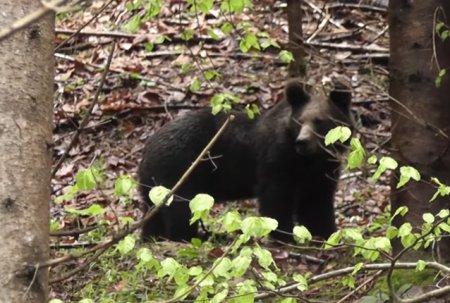VIDEO Un angajat Romsilva a filmat momentul intalnirii cu un urs intr-o padure din Rezervatia Calimani