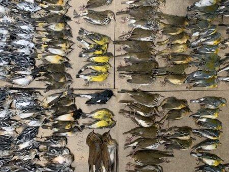 Macel pe trotuarele din New York. Sute de pasari migratoare au murit lovindu-se de zgarie-nori