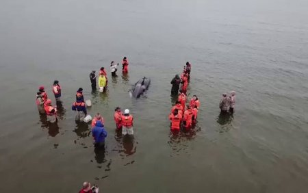 Un pui de orca, salvat de voluntari. Operatiunea a durat cateva ore