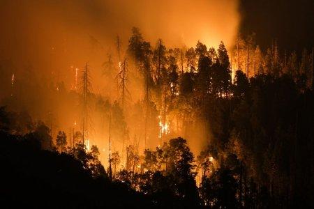 Cel mai mare copac din lume, invelit in paturi rezistente la foc pentru a fi protejat de incendiile din California