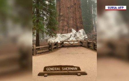 Cel mai mare copac de pe Pamant, un sequoia vechi de 2.500 de ani, a fost acoperit in folie rezistenta la incendiu