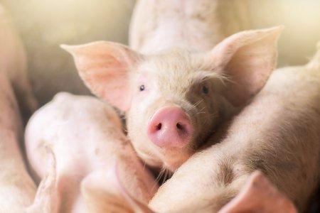Pesta porcina face ravagii in Romania! S-au inregistrat 611 focare la nivel national