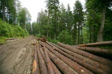 Comunicat halucinant al Garzii Forestiere dupa agresarea activistilor de mediu: Nu au fost identificate taieri ilegale de arbori/ Sa nu se mai mearga in teren