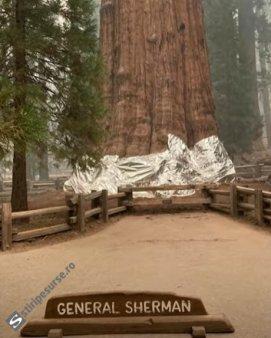 VIDEO Metoda incredibila in SUA: Acopera cu paturi cei mai mari arbori din lume, din cauza incendiilor