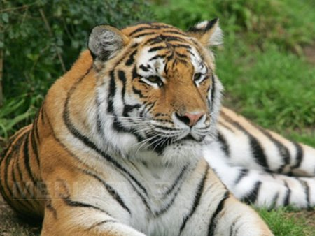 Covid-19 ataca si animalele. Lei si tigri de la gradina zoologica din Washington, depistati pozitiv