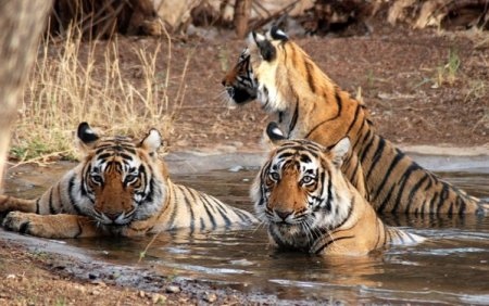 Covid-19 ataca si animalele. Lei si tigri de la g<span style='background:#EDF514'>RADI</span>na zoologica din Washington, depistati pozitiv