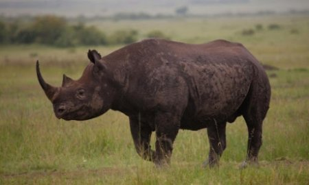 VIDEO| O femela rinocer s-a speriat si a murit in timpul unui ritual de imperechere esuat, intr-o gradina zoologica din Olanda