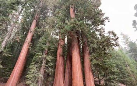 Cel mai mare copac din lume, amenintat de incendiile de <span style='background:#EDF514'>VEGETATIE</span> din SUA. Cum se incearca protejarea arborilor sequoia