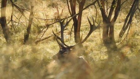 VIDEO. Imagini rare cu un cerb in perioada boncanitului