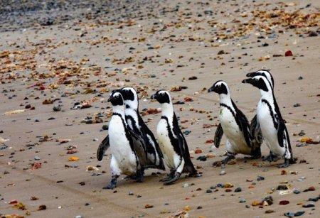 Albinele au ucis peste 60 de pinguini in Africa de Sud. Care este motivul