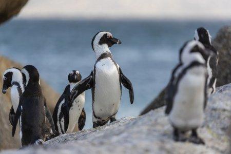 Peste 60 de pinguini pe cale de disparitie, ucisi de albine in Africa de Sud