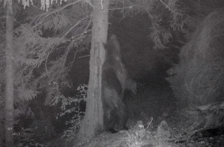 Baloo, intr-o padure din <span style='background:#EDF514'>PIATRA CRAIULUI</span>. Un urs a fost filmat in timp ce se scarpina de un copac