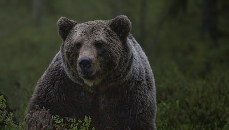 Mesaj trimis prin Ro Alert cu textul Ursul baaa!. ISU demareaza o ancheta