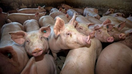Avertismentul fermierilor: Porcul romanesc, pe cale de d<span style='background:#EDF514'>ISPA</span>ritie din cauza pestei porcine