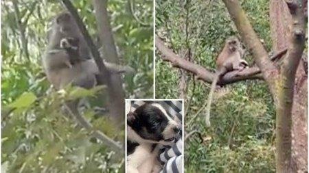 O <span style='background:#EDF514'>MAIMUTA</span> din Malaezia a rapit un catelus si l-a tinut trei zile ostatic intr-un copac