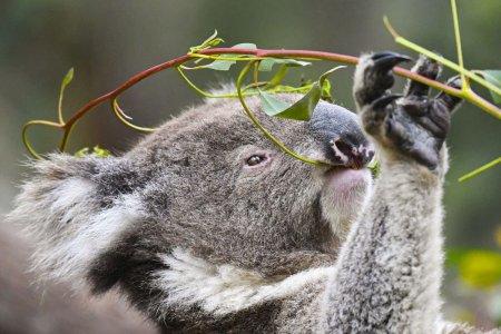 De ce a pierdut Australia aproape 30% din populatia de ursi koala in ultimii ani