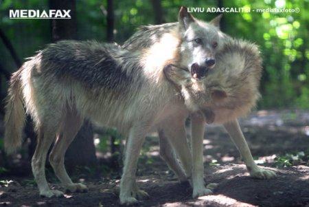 VIDEO. Imagini rare cu o haita de lupi dintr-o padure din Parcul National Semenic - <span style='background:#EDF514'>CHEILE</span> Carasului