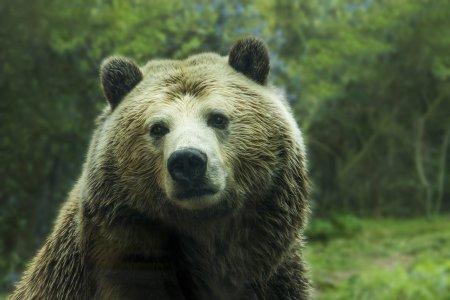 Un urs grizzly a fost ucis de o capra. Cum s-a intamplat acest lucru
