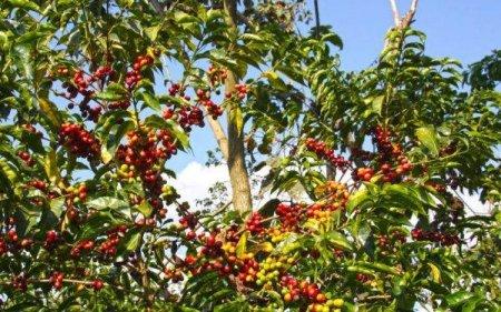 Ca urmare a schimbarilor climatice, fermierii americani au inceput sa cultive cafea
