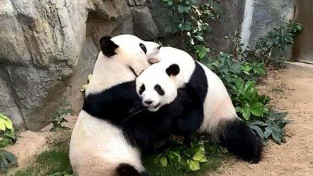 De ce nu mai fac sex ursii panda. Efectul Goldilocks, in calea inmultirii pretioasei specii