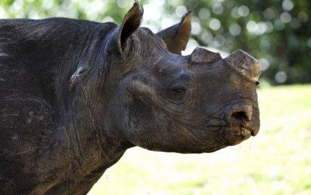 Peste 2.000 de coarne de rinocer, arse in India pentru a transmite un mesaj impotriva comertului ilegal