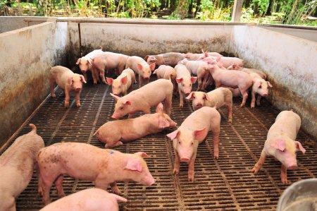 Dispare porcul romanesc. Toti fermierii din Romania sunt in stare de alerta: Este o situatie catastrofala