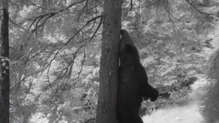 Momente amuzante surprinse intr-un parc National, cu ''Baloo de Carpati''. Un urs se scarpina de un copac