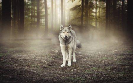 <span style='background:#EDF514'>SPANIA</span> a interzis vanatoarea de lupi. Oamenii nu accepta decizia: Acolo, jos. Au mancat tot