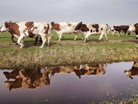 Peste 50.000 de bovine au fost sterse intr-un an din registrele zootehnice din Romania. Efectivele <span style='background:#EDF514'>SCAD</span> continuu de la intrarea Romaniei in UE. Un fermier din Bacau: Noi imbatranim, tinerii ne pleaca, batranii nu mai pot ingriji bovinele si anul trecut a mai fost si seceta care ne-a afectat.