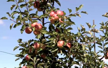 Productie semnificativa de mere toamna aceasta. Producatorii se plang ca nu au cui sa vanda marfa