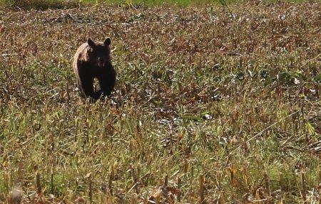 Barbat atacat de urs, in orasul prahovean Comarnic. Primar: Omul era in curtea din spatele casei