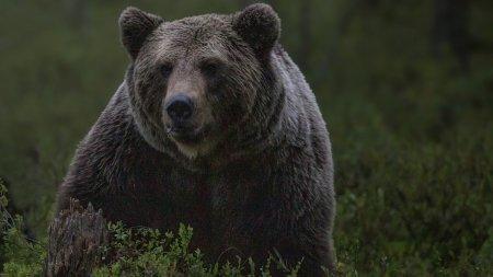 Barbat atacat de urs la Breaza. Al doilea atac din <span style='background:#EDF514'>JUDE</span>tul Prahova, in numai 24 de ore