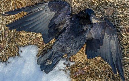 Sute de corbi au cazut din cer, intr-o localitate din Rusia. Oamenii vorbesc de scene apocaliptice