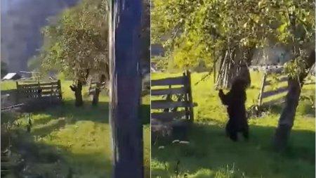Un urs, surprins cand culege mere din pom, intr-o <span style='background:#EDF514'>LIVADA</span> din localitatea Borca