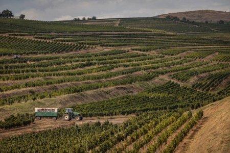 Productie buna de vin, in acest an. Recoltatul strugurilor, intarziat de vremea capricioasa