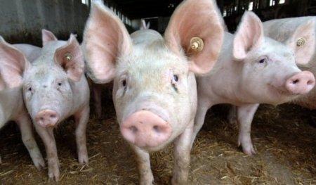 Pesta porcina africana a ajuns in Bucuresti