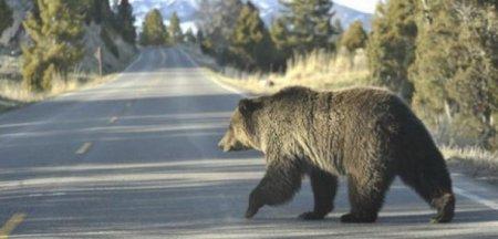 Dansand cu... ursii. Satul de munte care este terorizat, noapte de noapte, de salbaticiuni VIDEO