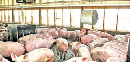 Pesta porcina face ravagii in judetul Ialomita. Peste 23.000 de animale vor fi ucise la Cazanesti