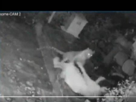 Momentul in care un leopard ataca o femeie in varsta. Cum a scapat <span style='background:#EDF514'>BATRANA</span>? Video viral