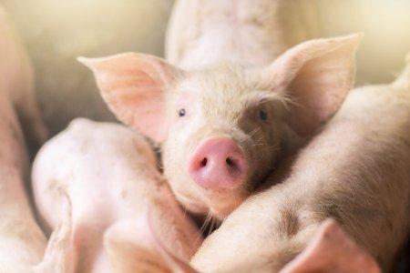 Posibil <span style='background:#EDF514'>ANTIDOT</span> pentru o boala teribila. Vaccinul pentru pesta porcina vine din Statele Unite