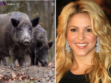 Poveste vanatoreasca? Shakira se plange ca doi porci mistreti i-au distrus geanta. Fiul sau nu-i confirma versiunea