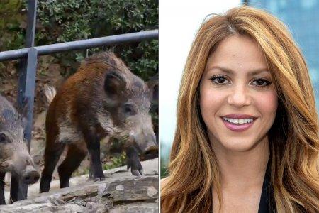 Shakira a fost <span style='background:#EDF514'>ATACATA</span> de mistreti