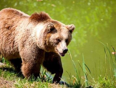 Barbat atacat de un urs pe un camp din judetul Sibiu. Cum a scapat cu viata