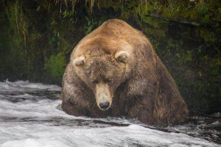 El este cel mai gras urs din <span style='background:#EDF514'>ALAS</span>ka (VIDEO)