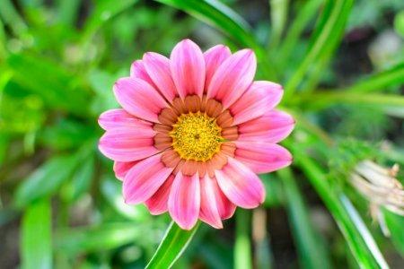 Gazania, floarea comoara. Plantare si ingrijire. Cum se inmulteste